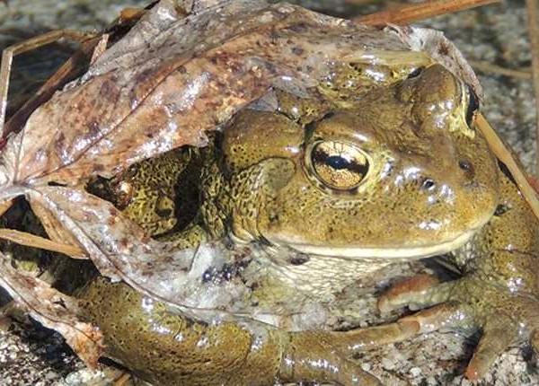 western Toad close up low les-min