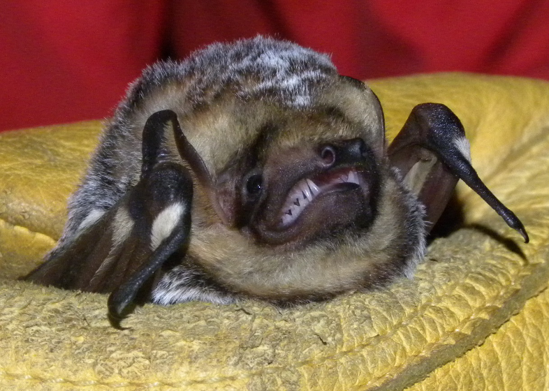 white nose syndrome in bats Our researchers describe a novel biocontrol agent for remediation of white noise  syndrome affected sites without impacting other native microbes.