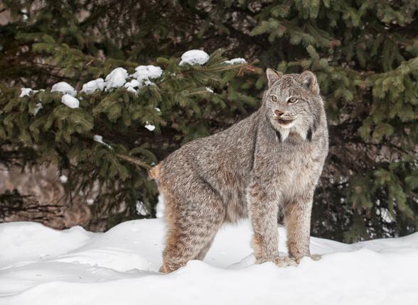 WEB POST Lynx iStock_000023269277_Large
