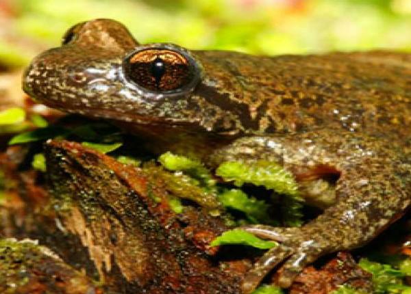 Coastal Tailed Frog: J. Hobbs