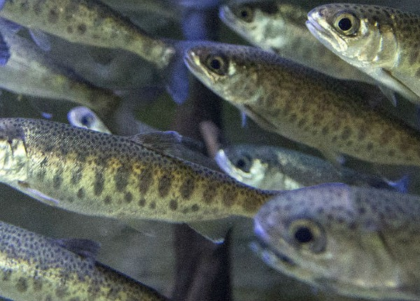 WEB-POST-coho fry iStock_85800149_med res