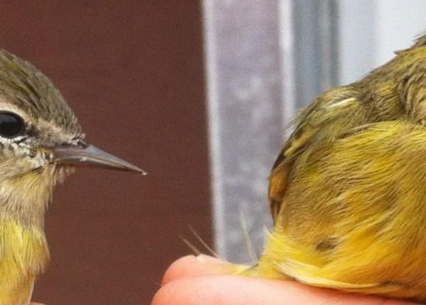 WEB-POST-Orange-crowned Warblers photo by Lena Ware