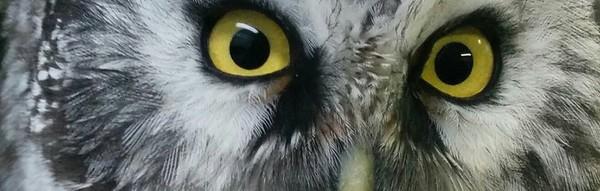 POST Boreal Owl by Serena Johnston-1